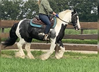 Gypsy Horse, Gelding, 6 years, 14 hh, Pinto