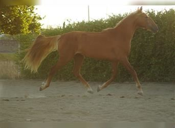 Lusitano Mix, Mare, 2 years, 14.3 hh, Chestnut-Red