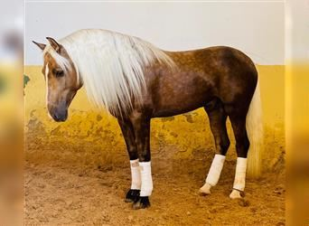 Andalusier, Hengst, 4 Jahre, 157 cm, Palomino