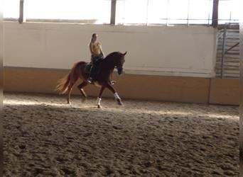 Hanoverian, Mare, 11 years, 16.2 hh, Chestnut-Red