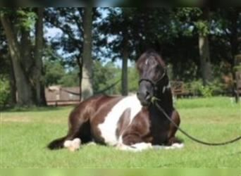 Spotted Saddle Horse, Hongre, 6 Ans, Pinto
