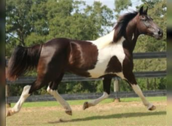 Spotted Saddle Horse, Wallach, 6 Jahre, Schecke