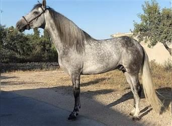 Andalusier Mix, Stute, 2 Jahre, 155 cm, Rotbrauner