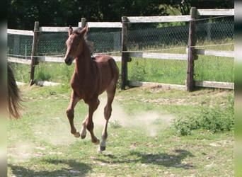 Holstein, Mare, Foal (05/2021), Brown