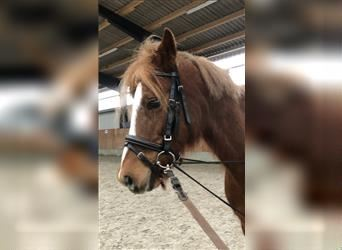 Welsh B, Mare, 13 years, 13 hh, Chestnut-Red