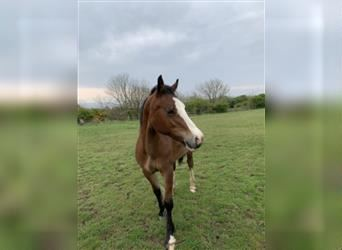 Welsh A (Mountain Pony), Gelding, 1 year, 13.1 hh, Bay