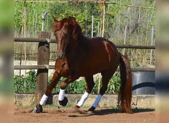 Andalusian, Stallion, 3 years, 15.3 hh, Chestnut-Red
