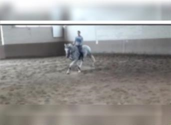 Other Breeds, Mare, 12 years, 16.1 hh, Gray