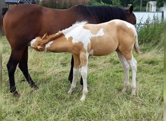 Paint Horse, Stallion, Foal (04/2021), 15 hh, Champagne