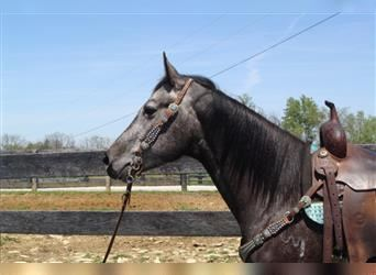 American Quarter Horse, Mare, 4 years, 15.1 hh, Gray