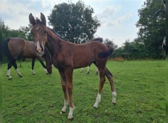 German Riding Horse, Mare, Foal (05/2021), 16.2 hh, Brown-Light