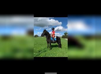 More ponies/small horses, Mare, 4 years, 12 hh, Black