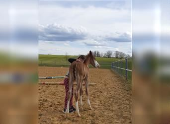 Paint Horse, Stallion, Foal (04/2021), 15.2 hh, Chestnut-Red