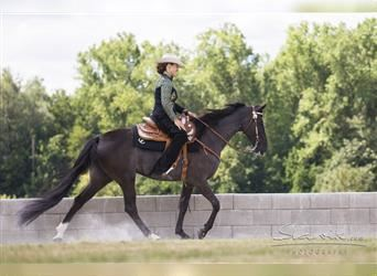 Tennessee walking horse, Mare, 9 years, 16 hh