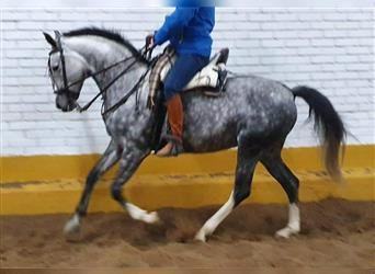 Other Breeds, Mare, 7 years, 15.2 hh, Gray