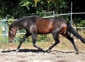 Andalusian, Mare, 5 years, 15.2 hh, Brown
