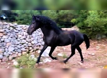 Andalusier, Hengst, 3 Jahre, 161 cm, Rappe