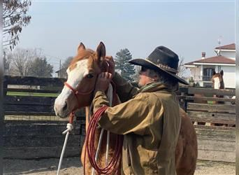 Paint Horse, Stallion, 1 year, 15.1 hh, Overo-all-colors