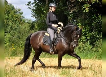 Andalusian, Gelding, 12 years, 15.2 hh, Black