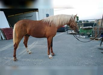Andalusier, Hengst, 2 Jahre, 162 cm, Palomino