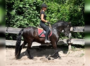 Andalusier, Wallach, 12 Jahre, 158 cm, Rappe