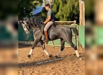 Andalusian, Stallion, 5 years, 17 hh