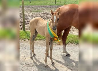 German Riding Pony, Mare, Foal (06/2021)