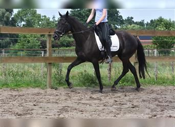 Other Breeds, Mare, 13 years, 16 hh, Black