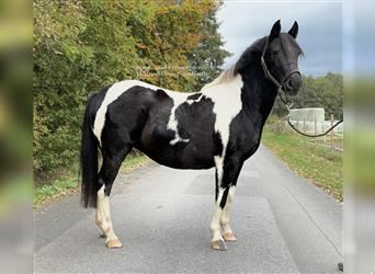 More ponies/small horses, Mare, 12 years, 13.2 hh, Pinto
