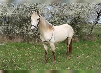 More ponies/small horses, Mare, 4 years, 14.1 hh, Pearl