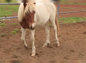 Icelandic Horse, Stallion, 1 year, 13.1 hh, Overo-all-colors