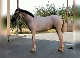 Andalusian, Stallion, 1 year, 15.2 hh, Gray-Blue-Tan