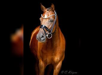 German Riding Pony, Mare, 11 years, 14.2 hh, Chestnut-Red