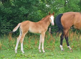 German Riding Horse, Mare, Foal (05/2021), 16.2 hh, Chestnut-Red