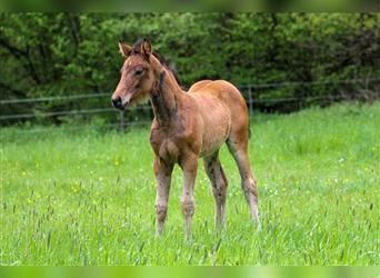 Oldenburg, Mare, Foal (05/2021), 16.2 hh
