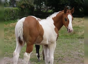 Paint Horse, Stallion, Foal (06/2021), 14.3 hh, Tobiano-all-colors