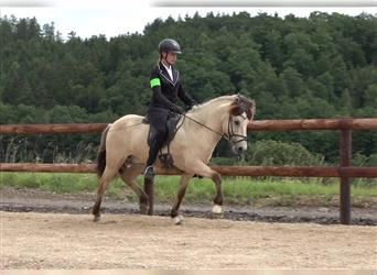 Icelandic Horse, Gelding, 7 years, 13.2 hh, Tovero-all-colors