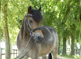 More ponies/small horses, Gelding, 8 years, 11.2 hh, Roan-Bay