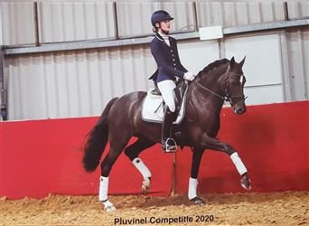 New Forest Pony, Wallach, 6 Jahre, 148 cm, Rappe