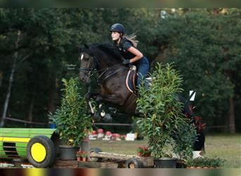 New Forest Pony, Wallach, 7 Jahre, 148 cm, Rappe