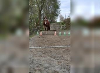 Small German riding horse, Gelding, 11 years, 15.1 hh