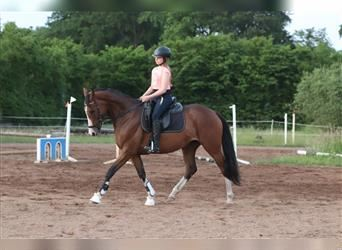 German Riding Horse, Mare, 5 years, 15.1 hh, Brown