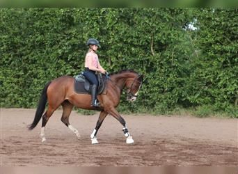 German Riding Horse, Mare, 5 years, 15.2 hh, Brown