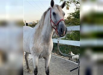 Andalusian Mix, Mare, 6 years, 14.2 hh, Can be white
