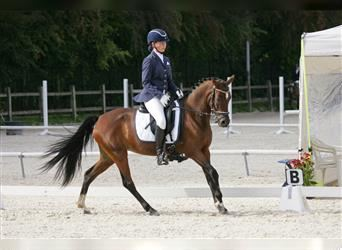 Welsh C (of Cob Type), Mare, 12 years, 14.1 hh, Brown