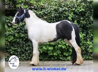 Gypsy Horse, Mare, 2 years, 12.2 hh