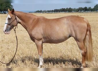 Tennessee walking horse, Mare, 12 years, 14.1 hh, Sabino