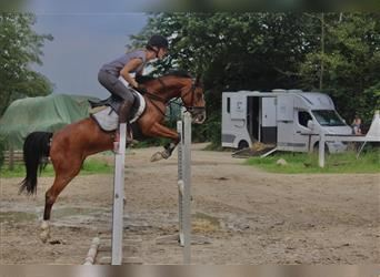 German Riding Pony, Mare, 5 years, 14.1 hh, Brown