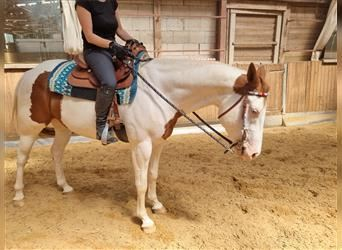 Paint Horse, Gelding, 7 years, 16 hh, Tobiano-all-colors
