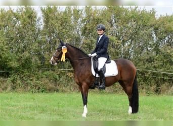 German Riding Pony, Mare, 7 years, 14.2 hh, Brown